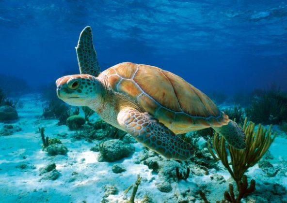 society should rescue green sea turtles